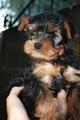 Yorkshire terrier mini (йоркширски терьеры)250e